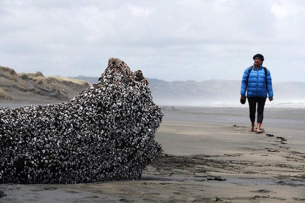 AUCKLAND, NEW ZEALAND - DECEMBER 12: Muriwai local Rani Timoti walks to see a large driftwood tree covered in gooseneck barnacles on Auckland's west coast on December 12, 2016 in Auckland, New Zealand. The large object washed up on Muriwai beach on Saturday, 10 December. (Photo by Fiona Goodall/Getty Images)